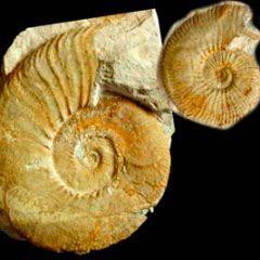 Las conchas de los ammonites en Museo Nacional de Ciencias Naturales en Madrid