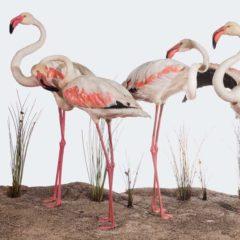 Naturalezas recreadas. La obra taxidérmica de los hermanos Benedito en Museo Nacional de Ciencias Naturales en Madrid