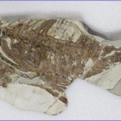 El Museo Arqueológico de Murcia expone un pez fósil de hace 5,5 millones de años