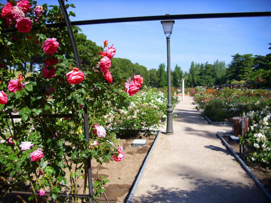 Rosaleda del parque Oeste