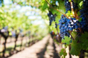 Uvas de vino en los planes de enoturismo para verano