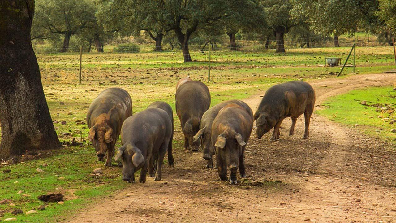 Extremadura; los reyes del jamón ibérico