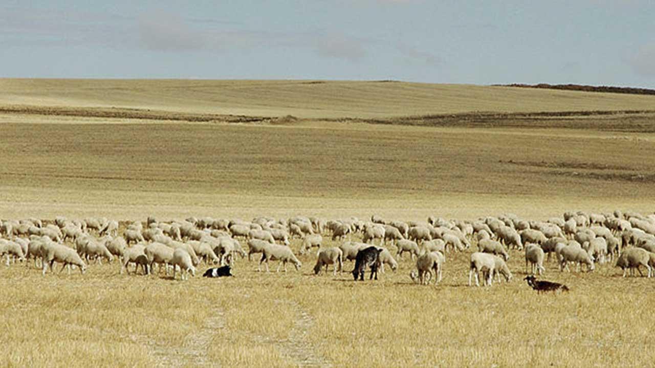 Pastoreo en la meseta castellana
