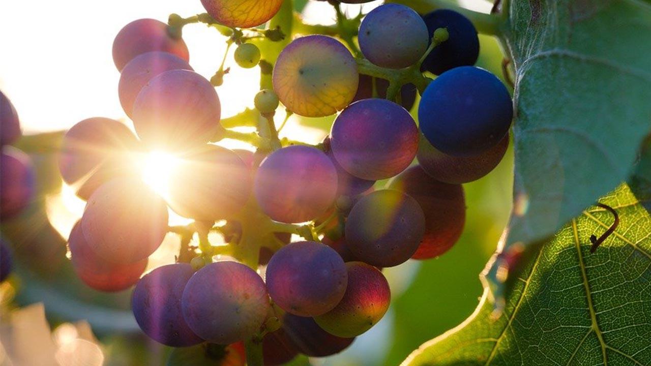 Uvas vinedo vino