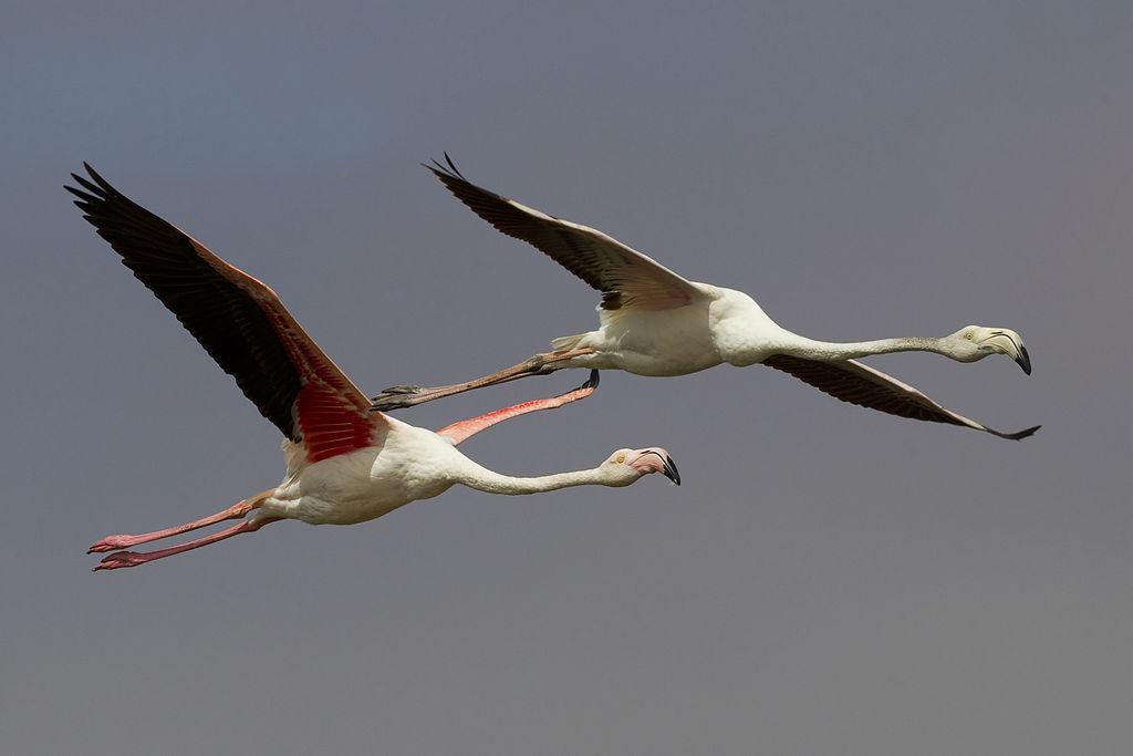 Flamencos rosados Un subadulto izq. con un adulto dcha. en vuelo